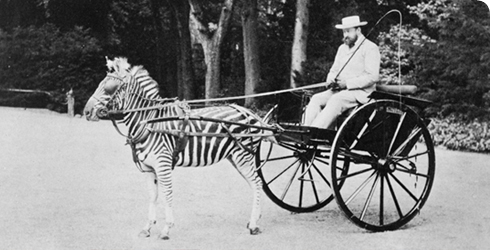 lord-rothschild-zebra-carriage-490_107554_1